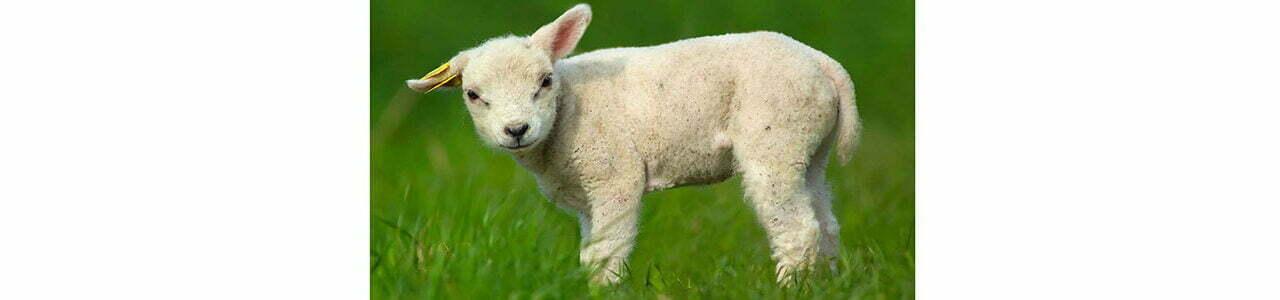 Boża Owieczka? Że niby ja?